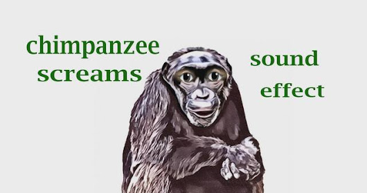 How A Chimpanzee Screams - Sound Effect - Animation