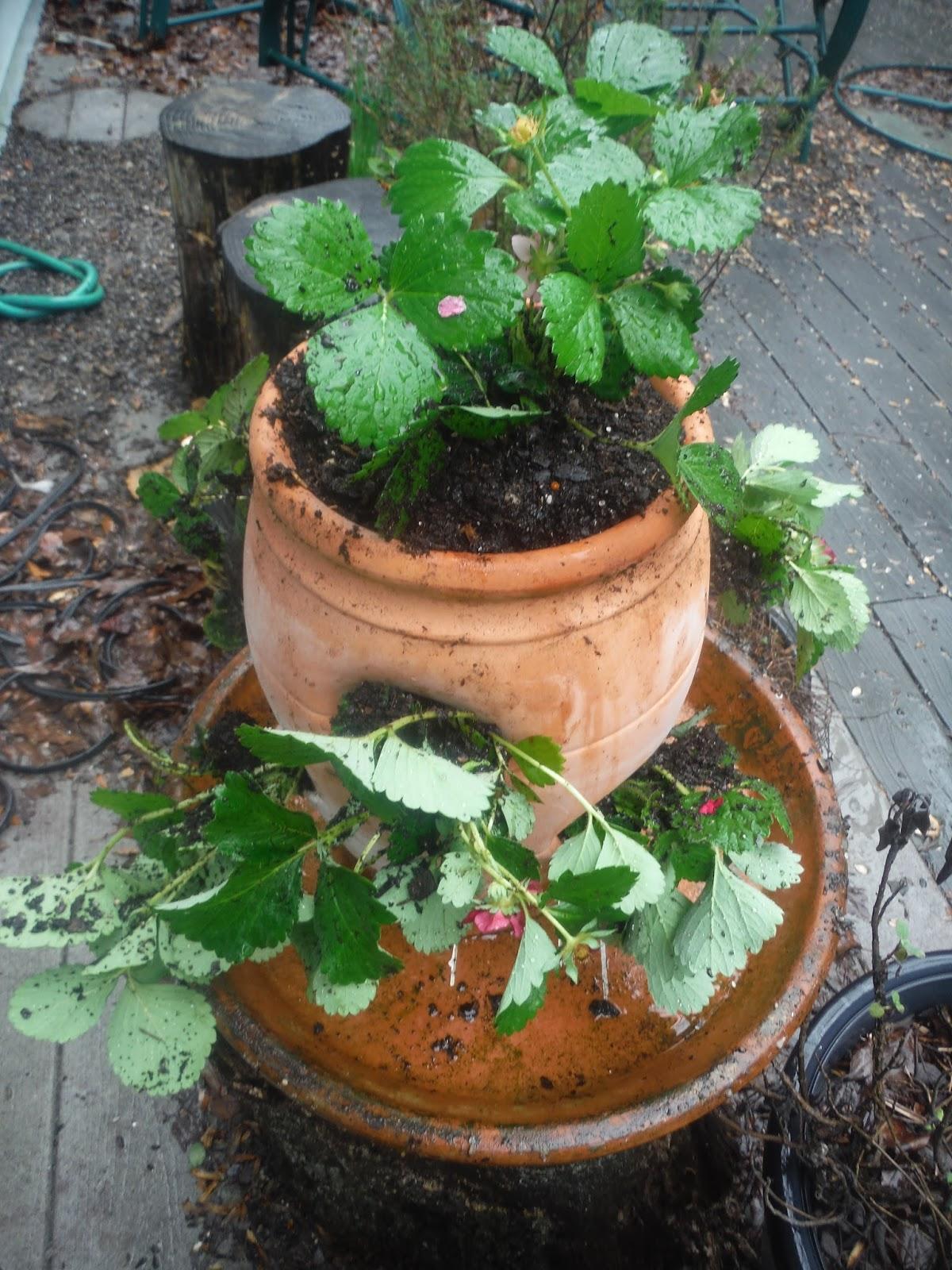 Strawberry Pots Rays Garden