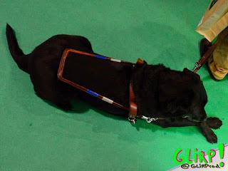 Perro guía. Labrador negro con arnés en posición de descanso. Tumbado con las patas delanteras cruzadas