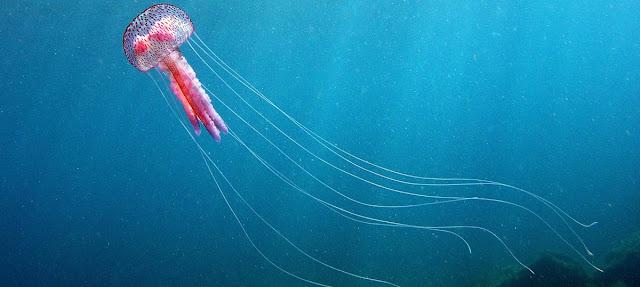 Medusa y zoologia