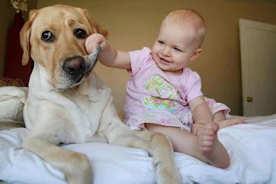 Virtud perro labrador