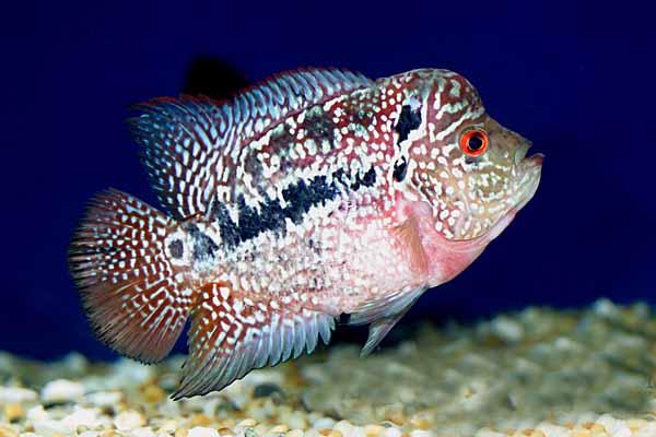 Breeding Flowerhorn Fish: Flowerhorn Fish Loss of Appetite