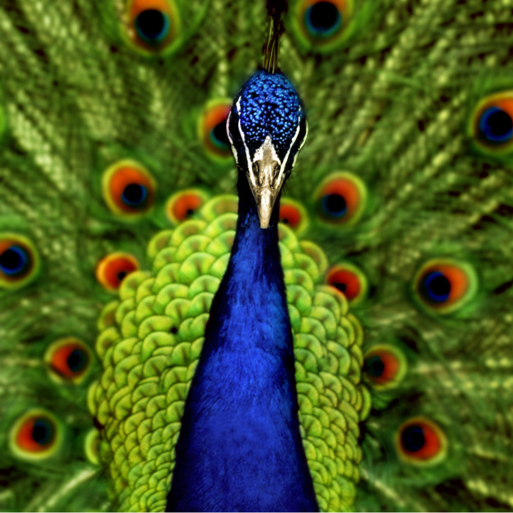 Nice Peacock images Free Download ~ Allfreshwallpaper