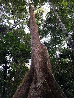 Árbol alucinógeno chiguaguaco