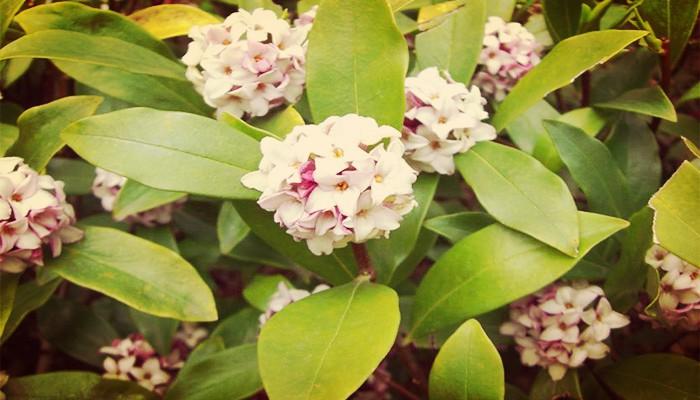 Cuidar la planta daphne