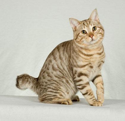 แมว: แมว พันธุ์อเมริกัน บ็อบเทล