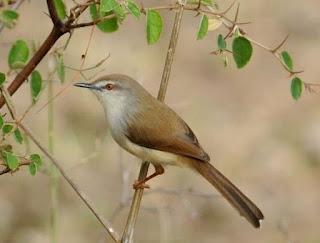Mengenal Dekat Tempat Sarang Burung Ciblek Gunung Di Alam Bebas