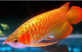 arwana Ikan Hias Paling Populer Di Indonesia