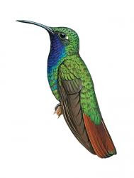 Campylopterus falcatus