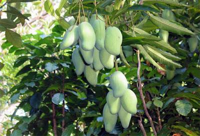 jenis buah mangga crispy