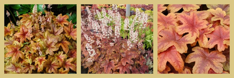 Heucherella 'Brass Lantern'  plantas de sombra en el jardín