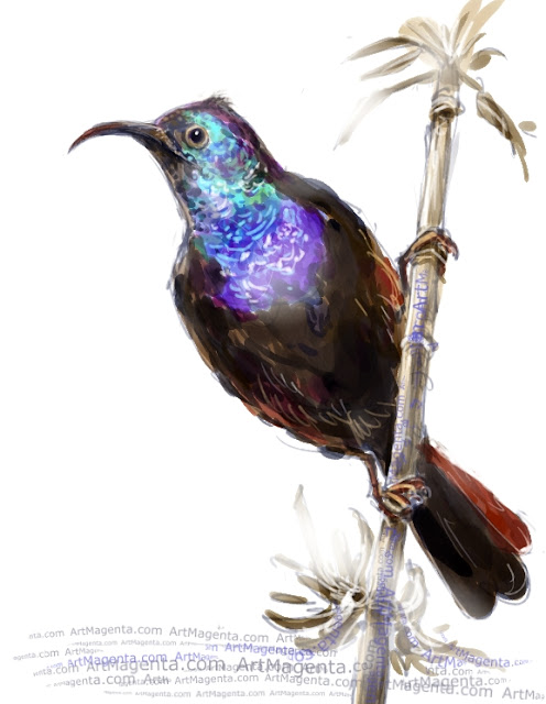 Palestine sunbird sketch painting. Bird art drawing by illustrator Artmagenta