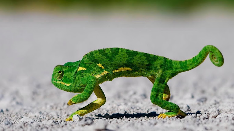 lizard hd wallpapers 9