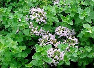 Древние греки считали пряный аромат орегано делом рук Афродиты