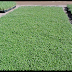 مغطيات التربة : تستخدم فى انشاء الملاعب الرياضية والمسطحات الخضراء ومنها الليبيا و الدايكوندرا و الزعتر الزاحف ...