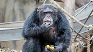 Επισκέπτες ζωολογικού κήπου έδωσαν Nαρκωτικά σε χιμπατζή και παραλίγο να πεθάνει (pics)