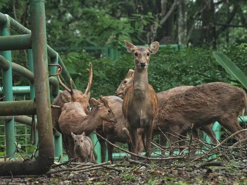 rusa-bawean-di-kebun-binatang-ragunan
