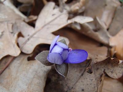 Przylaszczka pospolita Hepatica nobilis