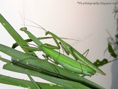 Praying Mantis Mating Picture