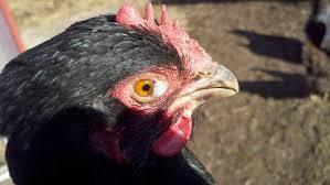 Penyebab Mata ayam mengeluarkan berbusa