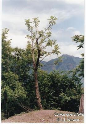 yacaratia