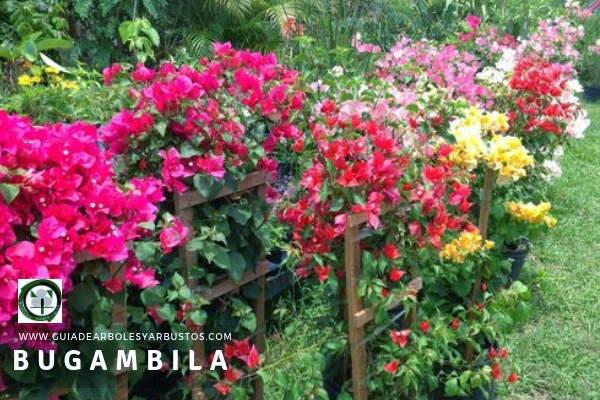 El Color de las Flores de la Bugambilia soy muy vivos, tonos: malvas, lilas, blancos y hasta púrpuras