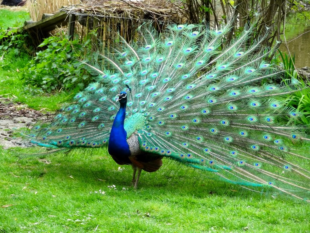 Alam Mengembang Jadi Guru Burung  Merak  Saat Terbang