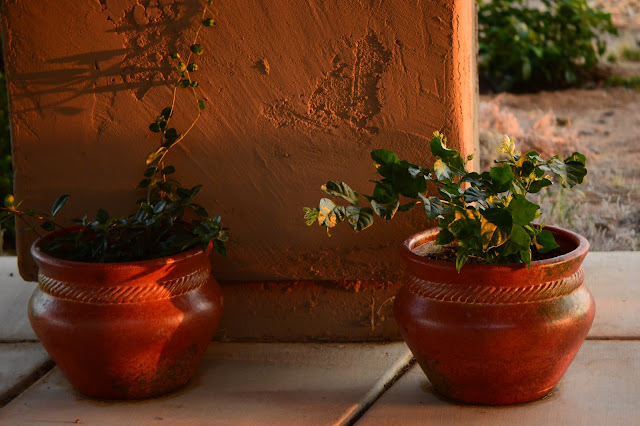 jasmine, container plants on the patio
