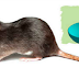 3 Simple Remedies To Get Rid Of House Rats