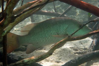 Habitat & Karakteristik Mangrove Jack