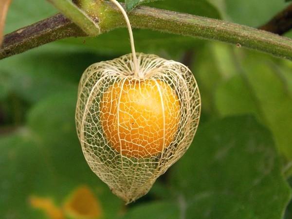 14 Manfaat Buah Ciplukan Untuk Pengobatan Tradisional