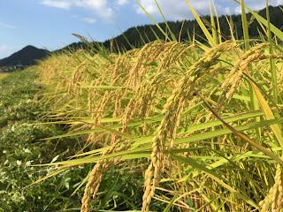 表面から酸化したお米を美味しく食べるには・・・