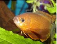 Gurami Thicklip, Ikan Hias pemalu