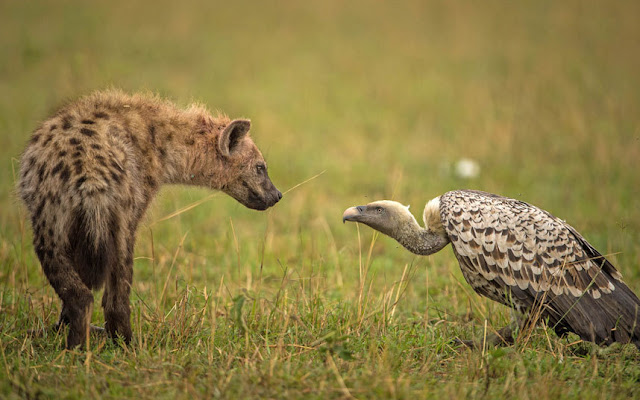 Masai Mara National Park Wild Animals - Hyena Vs Vulture