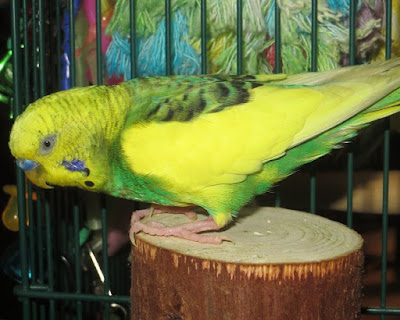 Parakeets Birthday