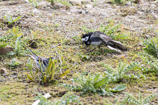 Contortions - Pied Wagtail Display