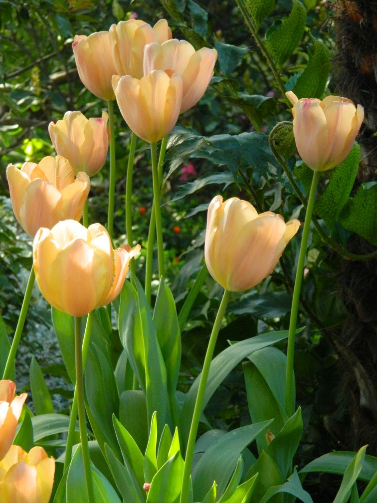 Coral tulips Allan Gardens Conservatory 2015 Spring Flower Show by garden muses-not another Toronto gardening blog