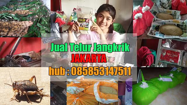 Jual Telur Jangkrik Jakarta dan sekitarnya, Hubungi 085853147511