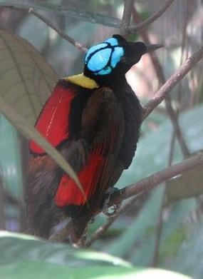 Burung Cendrawasih Wilson'S Bird Of Paradise (Cicinnurus Respublica)