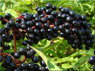 Elderberry Fruit (Scientific name is Sambucus)