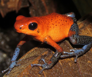 Oophaga pumilio, Strawberry Poison-dart Frog