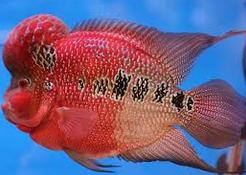 Louhan, 7 Besar Ikan Hias Paling Populer Di Indonesia
