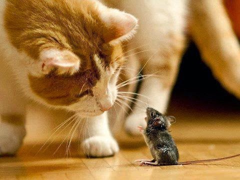 Tikus Jatuh Cinta pada Kucing