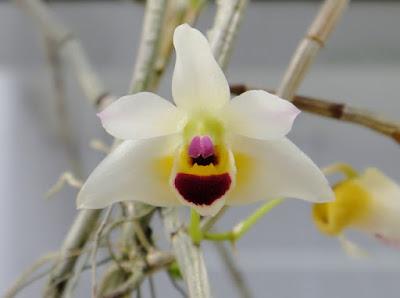 Dendrobium scoriarum care and culture