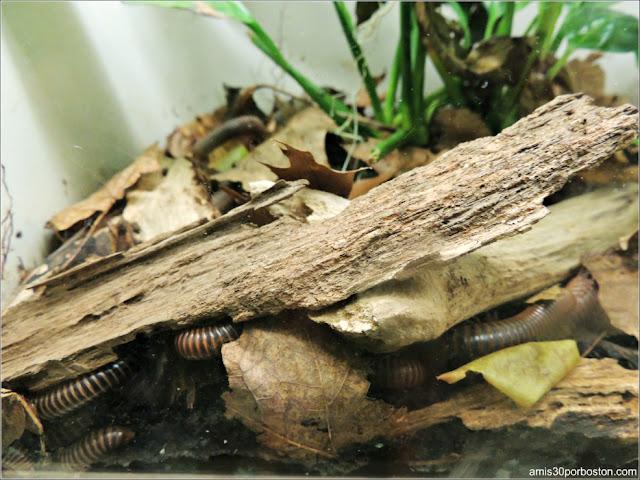 Larvas en el Insectarium del Jardín Botánico de Montreal