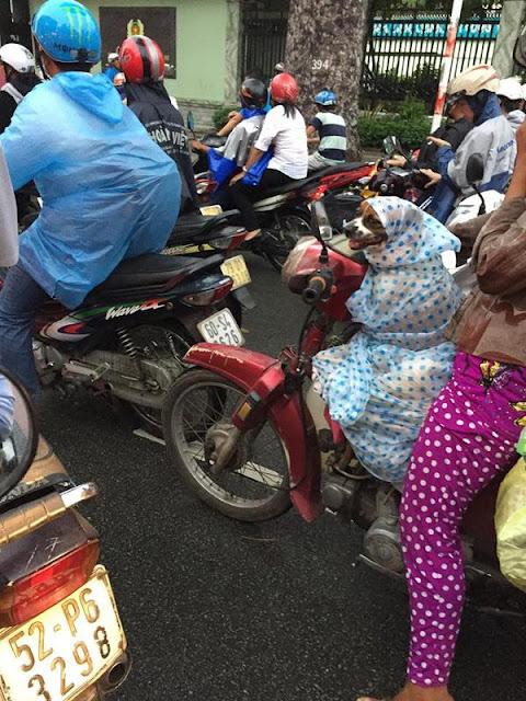 Cảm động với hình ảnh chú chó được chủ mặc áo mưa trên đường phố Sài Gòn