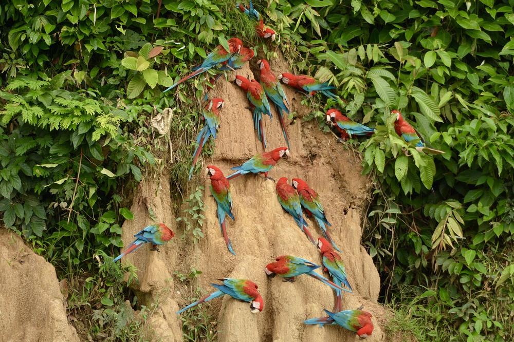 Clay Licks of Amazon Rainforest