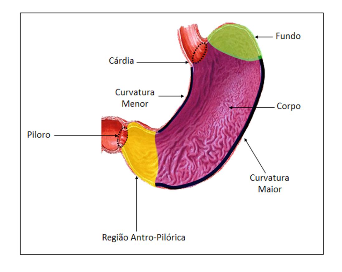GASTRITE? Entenda o Resultado da sua Endoscopia Digestiva Alta