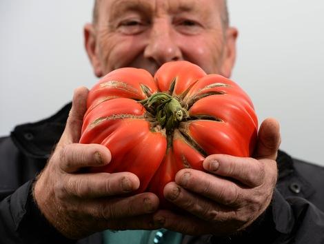 El tomate tiene mas genes por cromosoma