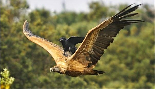 Comenzamos con esta extraña foto del reino animal, a nuestro amigo alado negro le dio flojera emprender el vuelo y pidió un aventón.